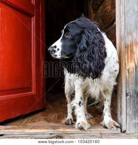 Spaniel Dog In The Door
