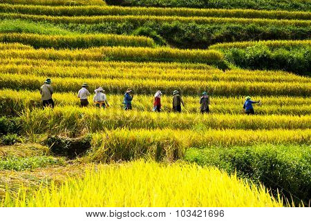 Farmers are harvesting in terraced rice field in Laocai, Vietnam