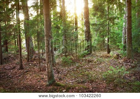 coniferous forest in morning light
