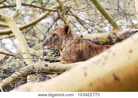 Lion On A Tree, Nakuru Lake
