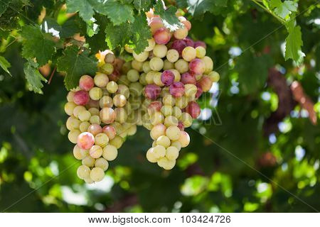 Fresh grape close-up
