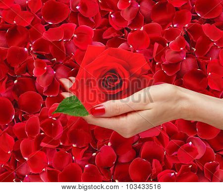 Red Rose In Woman Hand Over Beautiful Red Rose Petals Background