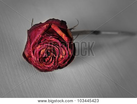 Lonely Withered Rose Thrown Cruel Hand