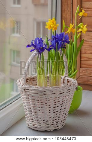 Bulbous Irises In A Basket And Daffodil  On The Window