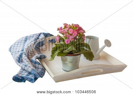 Pink Kalanchoe Isolated On White Tray On A White Background Isolated