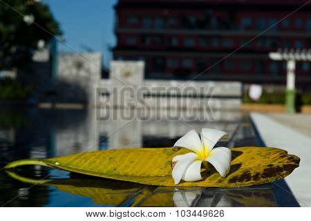 Plumeria white flower with its leaf near swimming pool