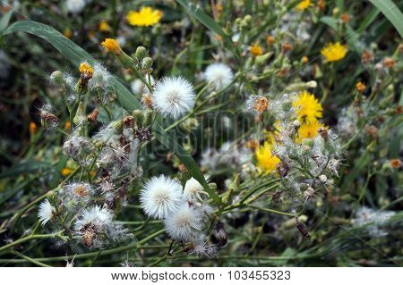 Field Sow Thistle