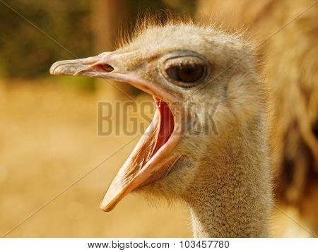 Ostrich With Open Beak