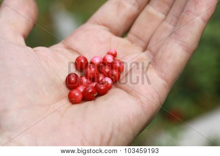 Lingonberry on a palm