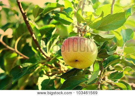 Ripe Apple  On A Branch