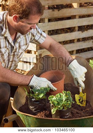 Gardener farmer transplanting potting new plants for the beginning of the growing season