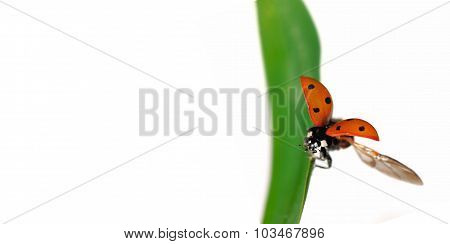 Fly Of Ladybird