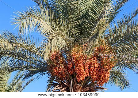 Palm Tree With Not Ripe Dates On The Blue Sky Background, Summer.