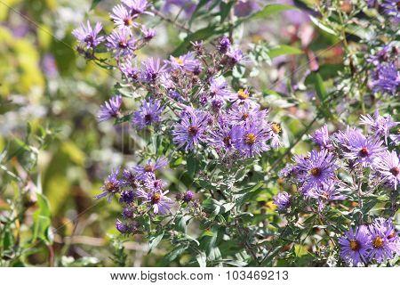 Aster, New England (Symphyotrichum novae-angliae