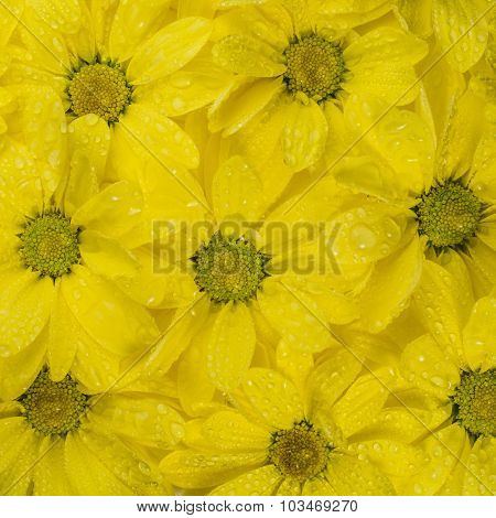Yellow flower background with water drop. Close-up.