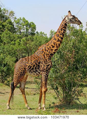 An isolated Giraffe next to a bush in Africa