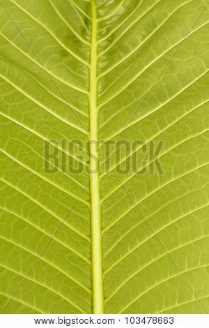 Plumeria leaf