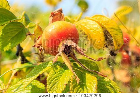 Fruit Wild Rose In Natural Setting Outdoor