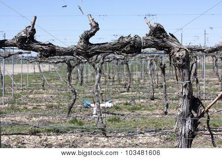 A photo of a dry vine, taken in the Ribera del Duero (Duero Valley) un Spain in April, 2015