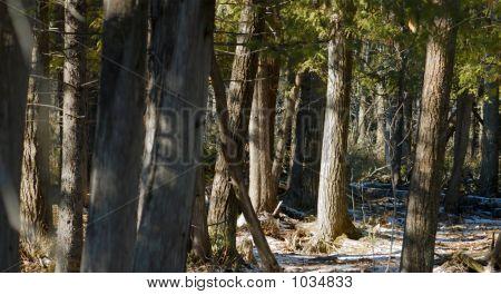 Cedars (High Dynamic Range Image)