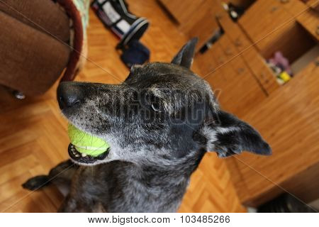 Grey sheepdog with ball in mouth