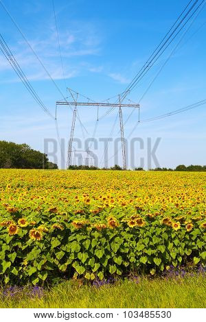 Sunflowers And High-voltage Line