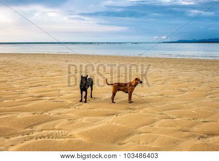 Dogs on the beach under sunset gloomy sky