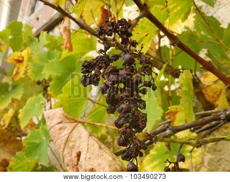 Withering Bunch of grapes