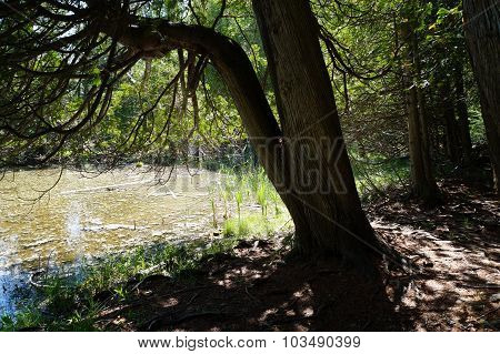 Cedar Tree Next to a Swamp
