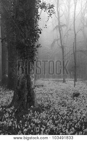 Vibrant Bluebell Carpet Spring Forest Foggy Landscape In Black And White