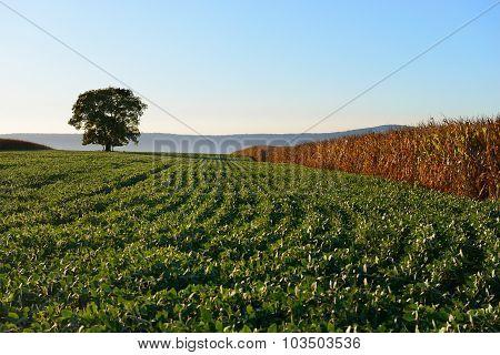 Autumn Scene of Tree in Farm Field at Sunset
