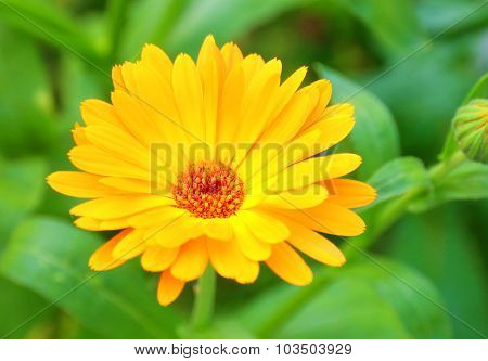 Flower pot marigold, ruddles, Calendula officinalis common marigold, garden