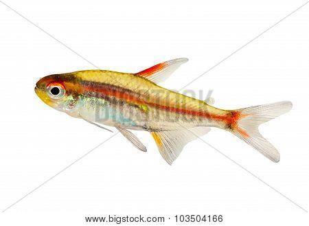 Aquarium fish Glowlight Tetra Hemigrammus erythrozonus freshwater