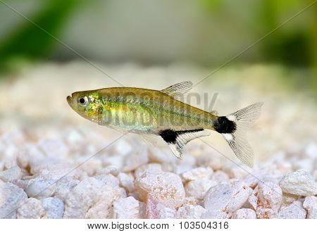 Aquarium fish Panda Tetra dawn tetra Aphyocharax paraguayensis freshwater