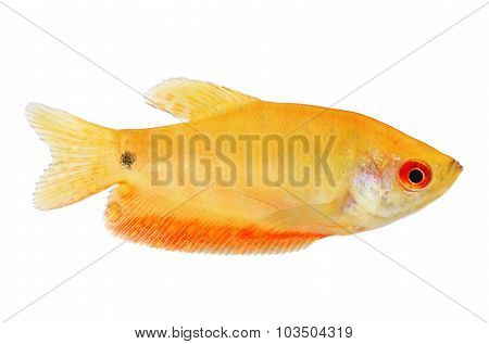 Aquarium Fish Golden gourami Trichogaster trichopterus Gold