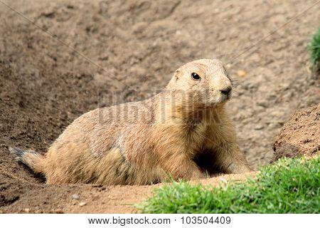Black-tailed prairie dog Cynomys ludovicianus