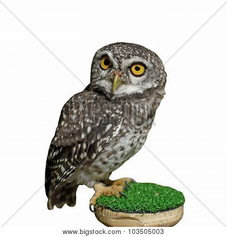 Spotted Owlet Or Athene Brama Bird  Isolated On White