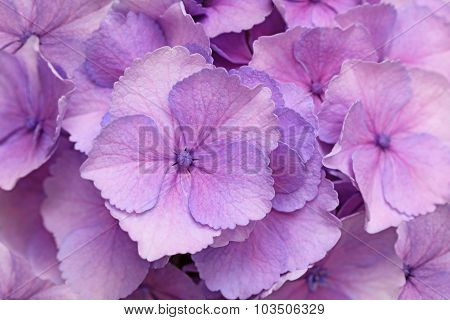 Pink Hortensia Background