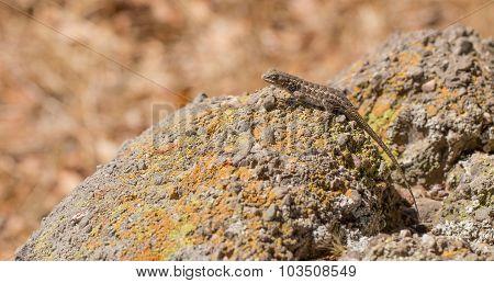 Coast Range Fence Lizard sunbathing on a colorful rock