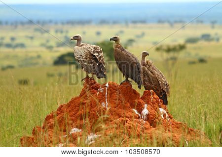 Three Vultures Sitting On A Rock