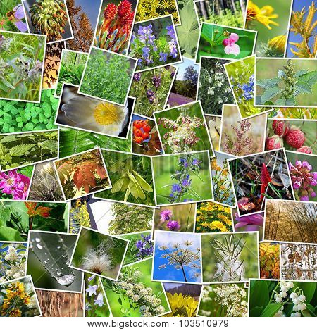 Wild medicinal plants of Siberia. A collage of photos