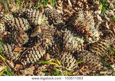 Pine cones .