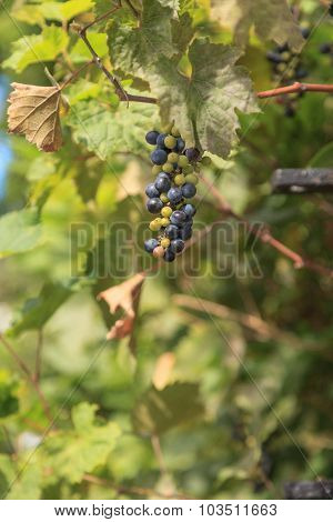 River bank wild grape, Vitis riparia
