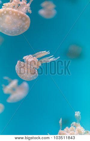 Spotted lagoon jelly, golden medusa