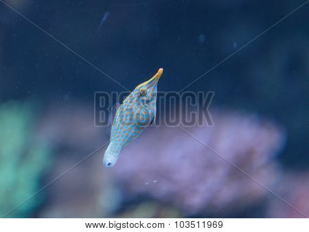 Spotted filefish, Oxymonacanthus longirostris