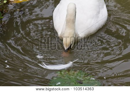 Swan Foraging For Food