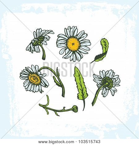 drawing daisies on a white background set of flowers leaves branches, grunge frame on white backgrou