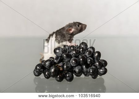 Rat And Grapes