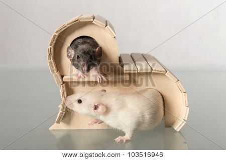 Baby Rats In Wooden House