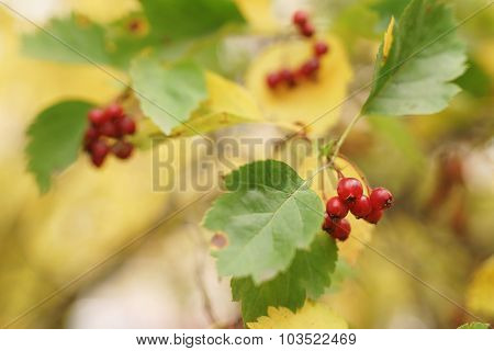 hawthorn berries on the branch